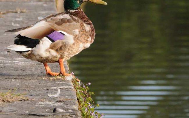 ducks in cyfartha park